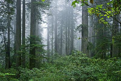 Thomas Kinkade Royalty Free Images - Redwood Trees in Morning Fog Royalty-Free Image by Karma Ganzler