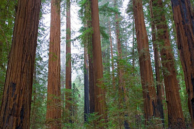 Tall Trees Photograph - Redwood Trees by Panoramic Images
