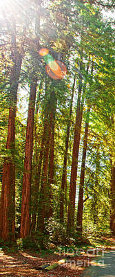 Photograph - Redwood Wall Mural Panel 1 by Artist and Photographer Laura Wrede