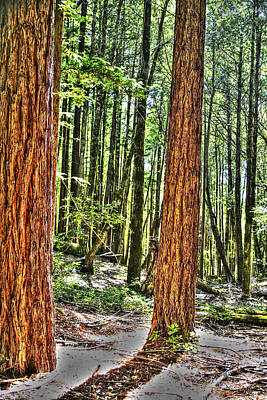 Photograph - Redwoods 2 Big Basin by SC Heffner
