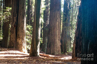 Redwoods 2.2843 Art Print by Stephen Parker