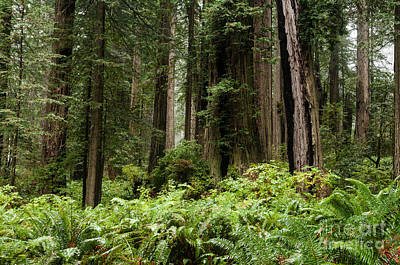 Soap Suds - Redwoods  2.2882 by Stephen Parker