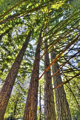 Photograph - Redwoods 3 Big Basin by SC Heffner