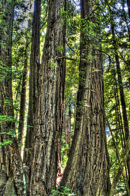 Photograph - Redwoods Henry Cowell by SC Heffner