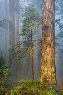Photograph - Redwoods In The Blue Mist by Greg Nyquist