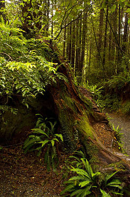 Art Print featuring the photograph Redwoods by Janis Knight