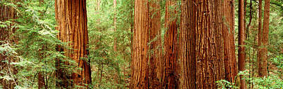 Redwoods Muir Woods Ca Usa Art Print by Panoramic Images