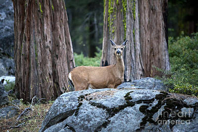 Photograph - Redwoods With Deer by David Millenheft