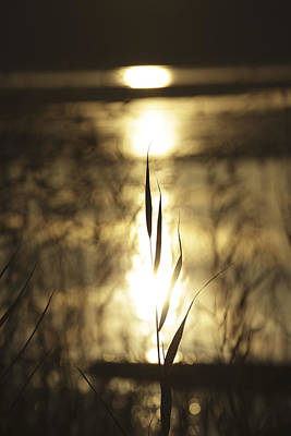 Reed At Sunset - Available For Licensing Original