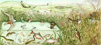 Newts Wall Art - Photograph - Reed Bed Habitat by Lizzie Harper/science Photo Library