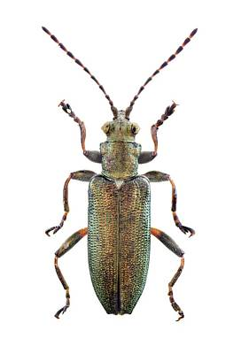 Cut Out Photograph - Reed Beetle by F. Martinez Clavel