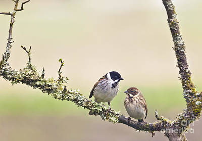 Photograph - Reed Bunting Pair by Liz Leyden