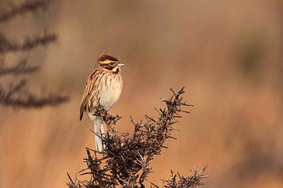 Reed Bunting Art Print by Peter Skelton