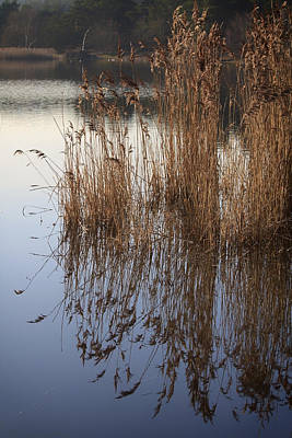 Reed Reflections Art Print by Shirley Mitchell