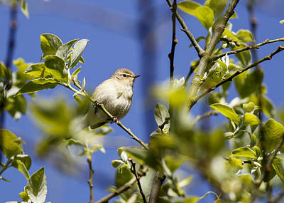 Animals Photograph - Reed Warbler 1 by Simon Gregory