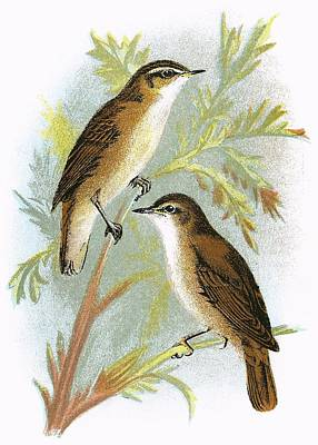 Warbler Photograph - Reed Warbler Bottom And Sedge Warbler Top by English School