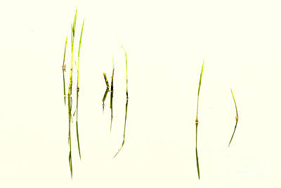 Photograph - Reeds In Water by Neville Bulsara