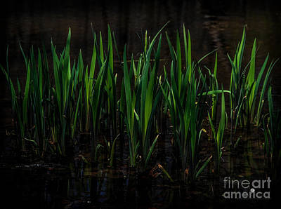 Photograph - Reeds by Ronald Grogan