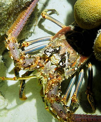 Reef Lobster Close Up Spotlight Art Print by Amy McDaniel