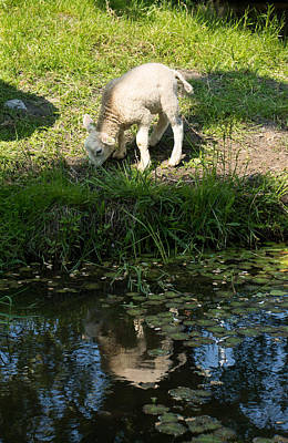 Photograph - Reflected Cute Little Lamb by Georgia Mizuleva