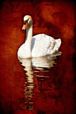 Photograph - Reflected Swan Burnt Umber by Bob Coates