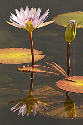 Photograph - Reflected Water Lilies by Theo OConnor