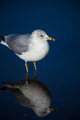 Photograph - Reflecting Gull by Karol Livote