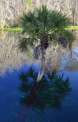 Reflecting Palm Tree Silver Springs Art Print by Bruce Gourley