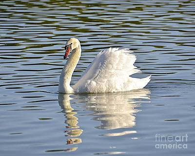 Photograph - Reflecting Swan by Carol  Bradley
