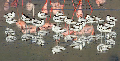 Flocks Of Birds Photograph - Reflection Of Avocets And Flamingos by Panoramic Images