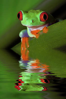 Reflection Of Red-eyed Tree Frog Art Print