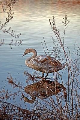Photograph - Reflection Of Swan And Morning Light by Jatinkumar Thakkar