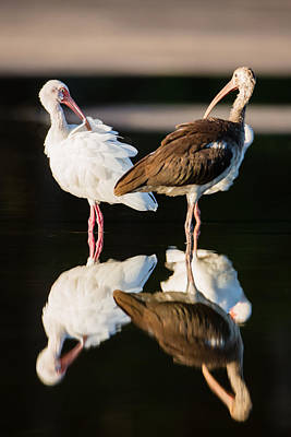 Beak Photograph - Reflection Of Two Young Ibis by Andres Leon