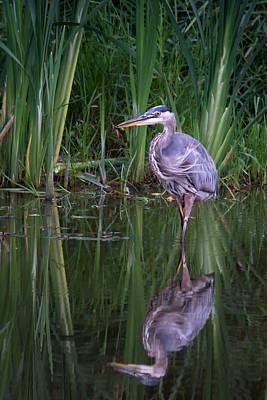 Reflections - Great Blue Heron  Art Print by Doug Underwood