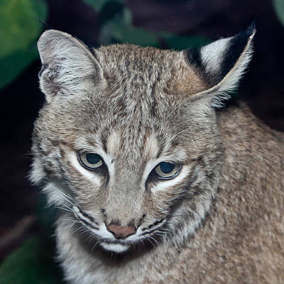 Nature Center Painting - Reflective Bobcat by John Haldane