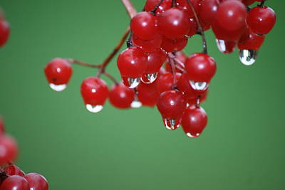 Photograph - Reflective Red Berries  by Neal Eslinger