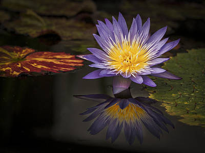 Photograph - Reflective Water Lily Still Life by Jean Noren