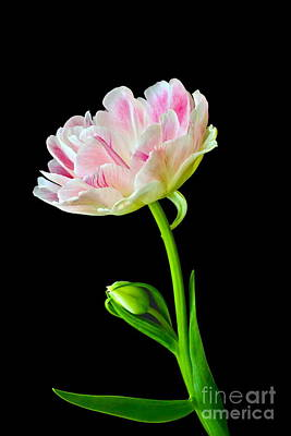 Photograph - Refreshing Single Double Tulip by Byron Varvarigos