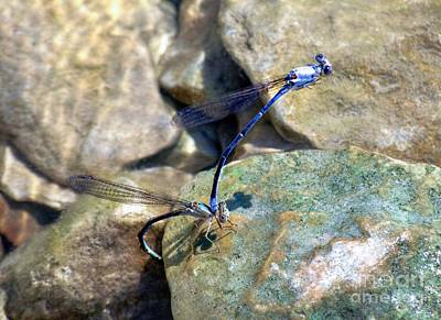 Photograph - Refueling Dragonflies by Peggy Franz