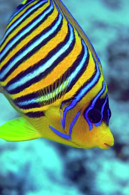 Angelfish Wall Art - Photograph - Regal Angelfish by Louise Murray