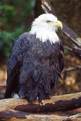 Photograph - Regal Eagle by Ginny Barklow