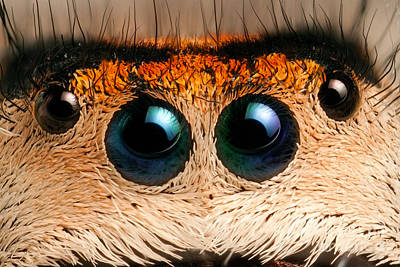 Photograph - Regal Jumping Spider Eyes by Scott Linstead