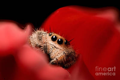 Photograph - Regal Jumping Spider In Flower by Scott Linstead