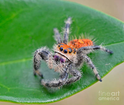 Photograph - Regal Jumping Spider by John Serrao