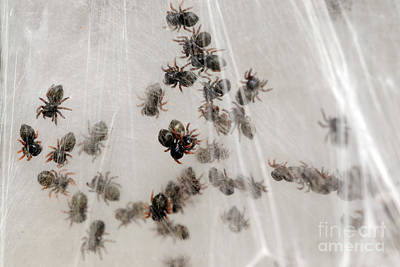 Photograph - Regal Jumping Spiderlings by Scott Linstead
