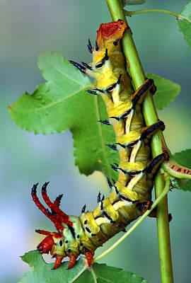 Robert Jensen Photograph - Regal Moth Caterpillar by Robert Jensen
