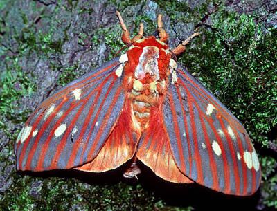 Photograph - Regal Moth  by Millard H Sharp