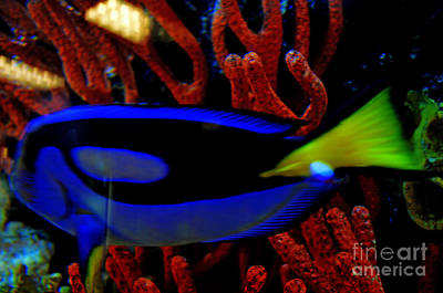 Photograph - Regal Tang Blue Fish Beauty by Luther Fine Art