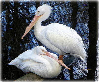 Photograph - Regal White Pelicans by Sheri McLeroy