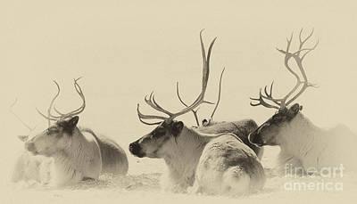 Photograph - Reindeer Antlers by Bianca Nadeau